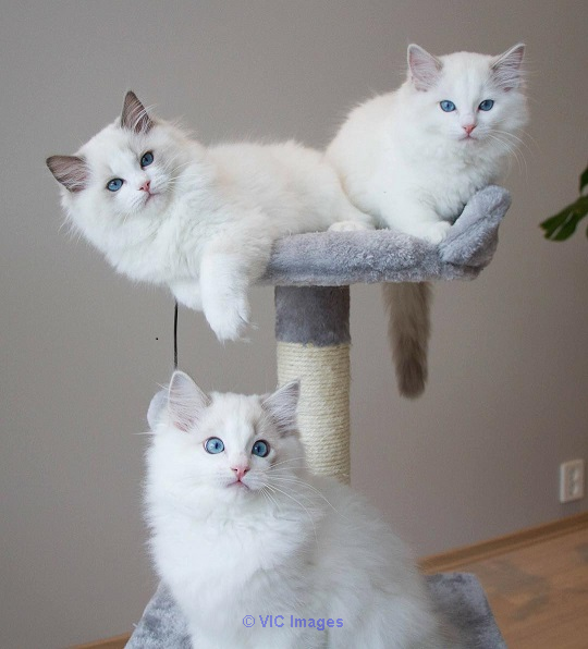 Available Ragdoll kittens for sale
